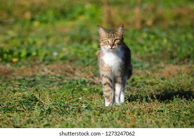 cat walks on the green grass