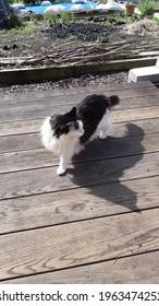 A cat walks on a wooden deck outside