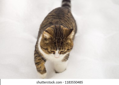 the cat walks in the snow