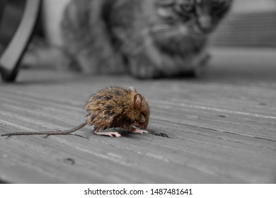 Cat watching a mouse with anticipation