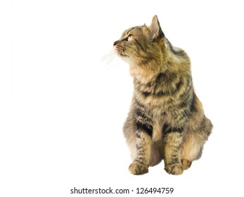 a cat watching something, isolated on white background