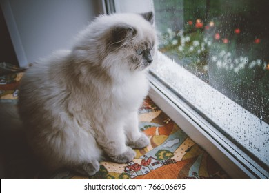 Cat watching spring rain and wind. Indoor portrait of pet.  Cat predict weather. Himalayan blue point grey and white breed.
