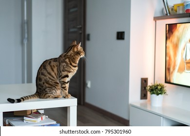 Cat watching television