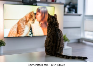 Cat watching tv program about big cats