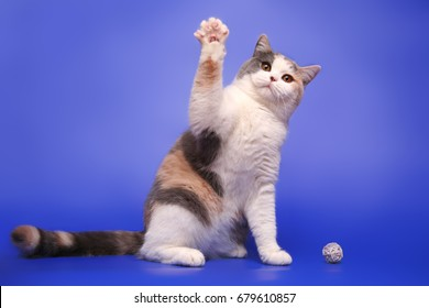 The cat waves with his paw, as if he says hello. Funny cat on a blue studio background.