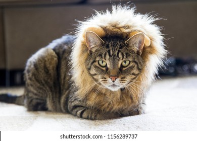 A cat wearing a lion costume for Halloween.
