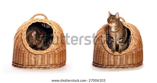 Cat in the wicker house