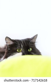 Cat with wild eyes ready to attack, copy space white background