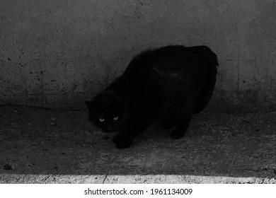 cat wildlife black blackandwhite nature