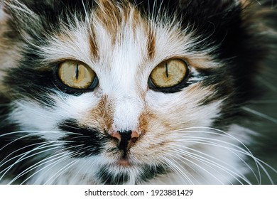 cat with yellow eyes. close-up portret. World Cat's day. Animal Day. Pets. Selective focus on eyes and nose. - Shutterstock ID 1923881429