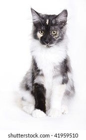 Cat, Young Maine Coon