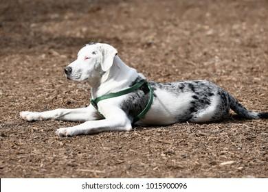 Catahoula Hog Dog Images, Stock Photos & Vectors   Shutterstock