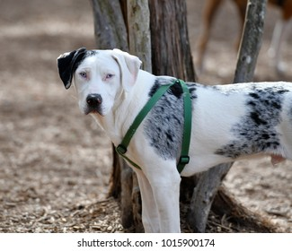 Catahoula Cur, State Dog of Louisiana, playing in the park