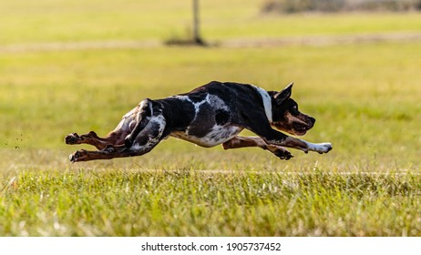 Catahoula Leopard Dog running in the field on lure coursing competition