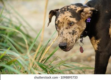 Catahoula Leopard puppy Dog sniffing around long grass