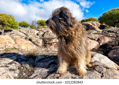 Catalan sheepdog on rocks of granite in Valdelavieja. Madrid. Spain.