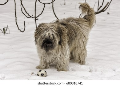 Catalan Sheepdog standing with toy ball in snow.