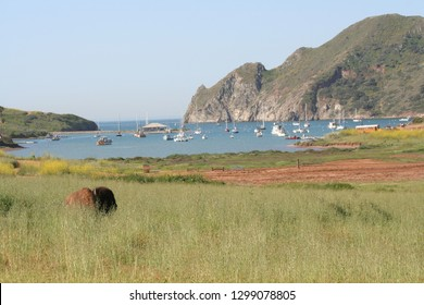 A Catalina Bison lays in tall grass on at Catalina Harbor on Catalina ISland in California. The large brown bison contrasts with the green grass, blue water of the Pacific, and the gray cliffs.