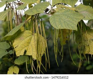 Catalpa bignonioides tree pods in summer
