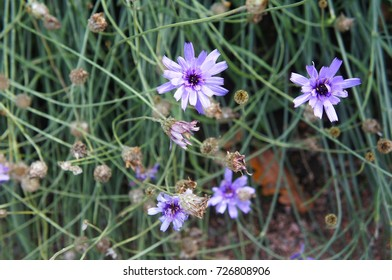 Catananche caerulea or catananche bleue or cupid's dart blue flowers with green