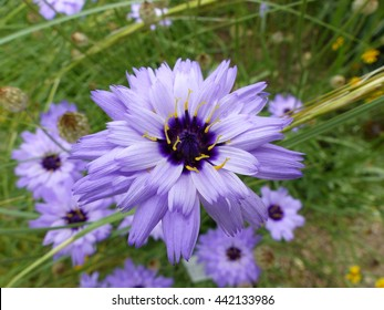 Catananche caerulea, the common names Cupid's dart, blue cupidone, and cerverina.