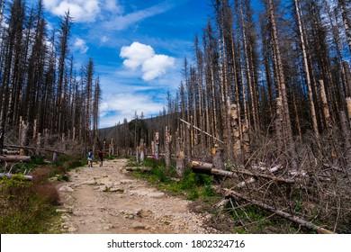 Katastrophenwald stirbt in Deutschland, Monokultur von Fichtenbäumen. Durch den Klimawandel, Dürre und eine enorme Zunahme von Rinde Käfer dünnen Wald in HARZ DEUTSCHLAND