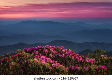 Catawba rhododendron and Appalachian Mountains at dusk