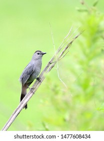 Catbird perched on a branch.