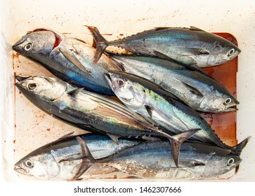 The catch of the day - albacore and bluefin tuna, wolf herring caught trolling on sailing yacht in Thailand. Large fish on sea fishing in the box for catch. Fishing between Similan and Phuket islands