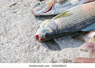 The catch of fish is a fresh grayling. Excellent was fishing