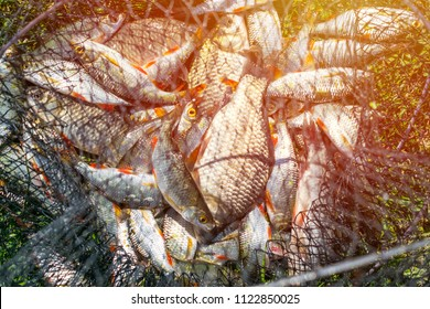 Catch of fish in net basket on green grass by the river. Many roaches on fishing net. Fishing concept, good catch. Fresh fish just taken from the water on landing net with fishery catch in it.