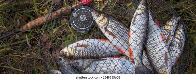 catch freshwater fish in mesh bag.