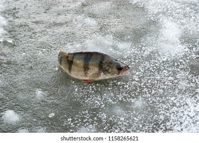 Catched fish on ice