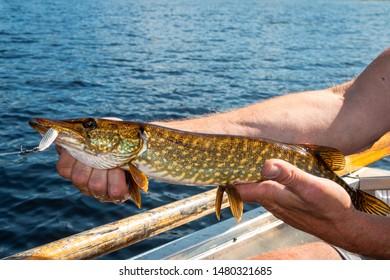 Catching beautiful pike (esox lucius) in Sweden on the great lake Safssjon region Dalarna
