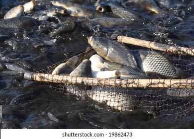 Catching of a carp, a silver carp, a white cupid, live fish in a pond Cyprinus carpio Linnaeus, Hypophthalmichthys molitrix, Ctenopharyngodon idella
