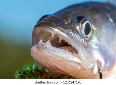 catching fish zander