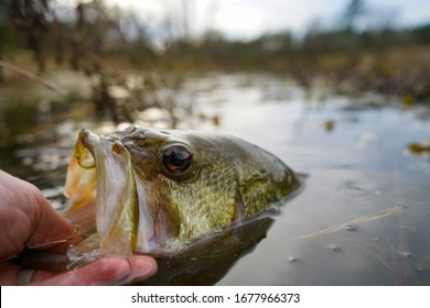 Catching largemouth bass lifting in the mouth out of water.
