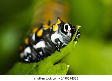 A caterpillar of black swallowtail butterfly is eating a parsley leave.