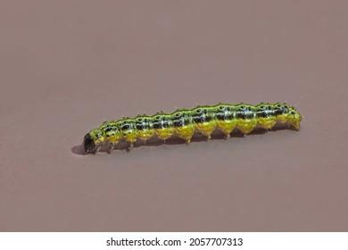 Caterpillar of box tree moth cydalima perspectalis