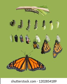 From caterpillar to butterfly. Monarch butterfly (Danaus plexippus) cycle. Isolated on green background