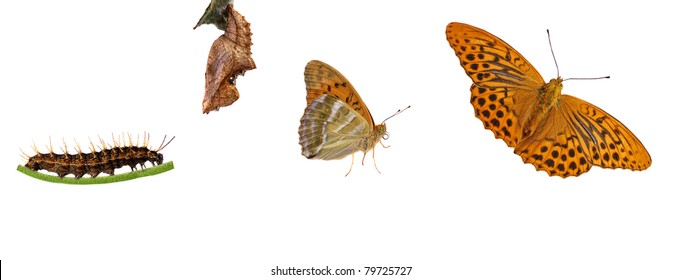 From caterpillar to butterfly, rare silver-washed fritillary, arygnnis paphia metamorphosis