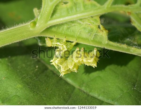 Caterpillar Cabbage Looper Moth Trichoplusia Ni Stock Photo