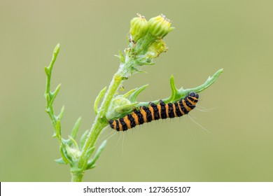caterpillar of cinnabar moth (Tyria jacobaeae)
