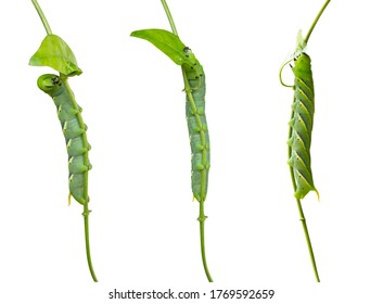 Caterpillar eat green leave on a blurred background, caterpillar moving on leave of tree isolated on white background.