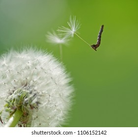 The caterpillar flies on a parachute from the dandelion seed.