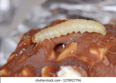 Caterpillar of Indianmeal moth Plodia interpunctella of a pyraloid moth of the family Pyralidae is common pest of stored products and pest of food in homes. Larva on damaged chocolate.