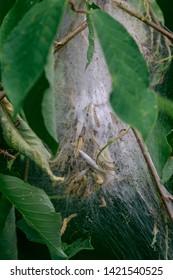 Caterpillar larvae, caterpillars on tree
