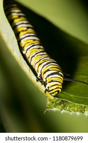 Caterpillar of a monarch butterfly, Danaus plexippus, on a common milkweed leaf with bite marks, Asclepias syriaca, in South Windsor, Connecticut.
