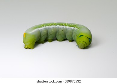 Caterpillar Oleander Hawk-moth (Daphnis nerii) Isolated on White.