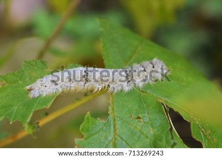 Sưu tập Bộ cánh vẩy  - Page 16 Caterpillar-on-astilbe-leaf-tolype-450w-713269243